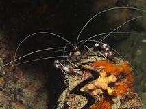 Banded Boxer Shrimp - Stenopus Hispidus Stock Photos