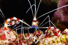 Banded Boxing Shrimp Stock Images