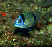 Banded bream Royalty Free Stock Photography