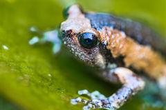 Banded bull frog on green lotus leaf, Royalty Free Stock Images