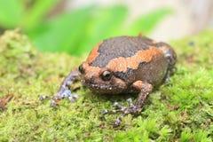 Banded bullfrog royalty free stock image