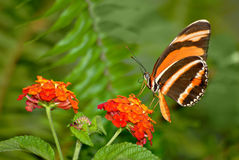 Banded Butterfly Stock Images