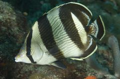 Banded Butterflyfish. Chaetodon striatus, picture taken in south east Florida Royalty Free Stock Photos