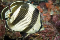 Banded Butterflyfish. Chaetodon striatus,picture taken in south east Florida Royalty Free Stock Photography