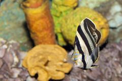 Banded Butterflyfish (Chaetodon striatus) Stock Images