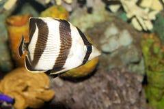 Banded Butterflyfish (Chaetodon striatus). In Aquarium Stock Photography