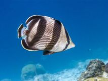 Banded butterflyfish,Chaetodon striatus. Is a butterflyfish found in the tropical western Atlantic Ocean Stock Images