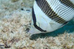 Banded butterflyfish Royalty Free Stock Photography