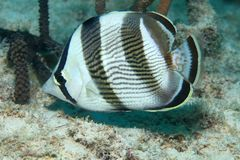 Banded butterflyfish Royalty Free Stock Photos