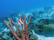 Banded butterflyfish,Chaetodon striatus,. Is a butterflyfish found in the tropical western Atlantic Ocean Stock Images