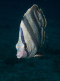 Banded Butterflyfish 03 Stock Photo