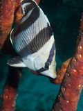 Banded Butterflyfish 01 Stock Photos