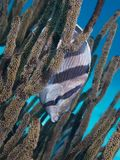 Banded Butterflyfish 02 Royalty Free Stock Photos