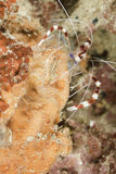 Banded Cleaner Shrimp. Cleaning station with fish for banded coral shrimp (Stenopus hispidus ) at night on the reef. This shrimp cleans algae, parasites and dead stock photos