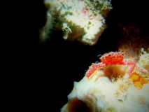 Mithrax cinctimanus 011-2. This is a banded clinging crab sitting on a branching vase sponge stock photos