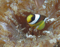 Banded Clownfish. Underwater image of Banded anemonefish in host anemone found in Lembeh Strait, Indonesia stock image