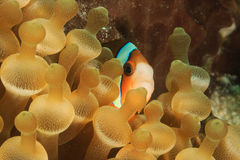 Banded Clownfish in anemone. Clownfish hiding in a bubble anemone on a tropical coral reef Royalty Free Stock Photography