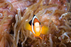 Banded Clownfish Stock Photo