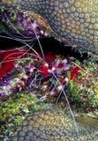 Banded coral shrimp and banded cleaner shrimp Stock Image