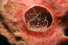 Banded Coral Shrimp Hiding in a Sponge Royalty Free Stock Image