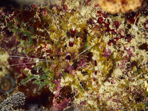 Banded Coral Shrimp Stock Photos
