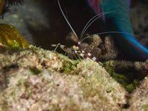 Banded Coral Shrimp Royalty Free Stock Photos