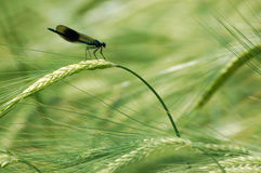 Banded Damsel Fly resting on Barley Stalk. Blue Green iridescent Calopteryx Dplendens Demoiselle Damsel Fly rests on seed pods Royalty Free Stock Images