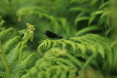 Banded damselle male Stock Photos