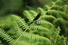 Banded damselle male Royalty Free Stock Image