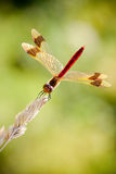 Banded Darter (Sympetrum pedemontanum) Royalty Free Stock Photography