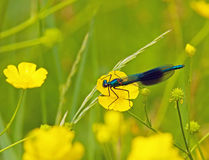 Banded Demoiselle Stock Images