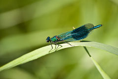 Banded demoiselle. The Picture shows a banded demoiselle Royalty Free Stock Images