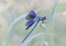 Banded Demoiselle Royalty Free Stock Photos