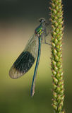 Banded Demoiselle Royalty Free Stock Image