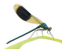 Banded Demoiselle - Calopteryx splendens Royalty Free Stock Photo