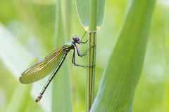 Banded demoiselle   (Calopteryx splendens) Stock Photography