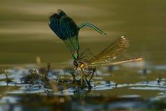 Banded Demoiselle - Calopteryx splendens Stock Image
