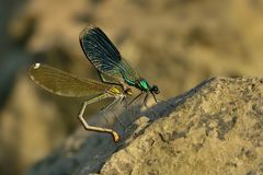 Banded Demoiselle - Calopteryx splendens Stock Photo