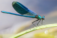 The Banded Demoiselle Royalty Free Stock Images