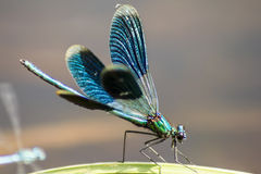 The Banded Demoiselle Royalty Free Stock Image