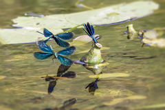 The Banded Demoiselle Stock Image