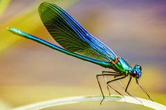 The Banded Demoiselle (Calopteryx splendens) Stock Images
