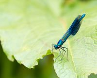 Banded Demoiselle. Close up of a blue Male Banded Demoiselle, Calopteryx splendens, resting on a green leaf in a nature reserve stock photos