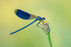 Banded Demoiselle Royalty Free Stock Photography