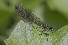 Banded Demoiselle female Royalty Free Stock Photos
