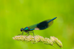 Banded demoiselle macro against green. Banded demoiselle at rest in dorset field using selective focus to blu green surroundings into lovely bokeh royalty free stock photography