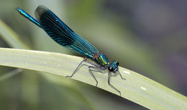 Banded Demoiselle Royalty Free Stock Photo