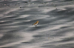 Banded Dotterel royalty free stock photography