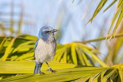 Banded Florida Scrub Jay Stock Photo