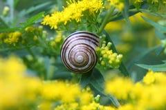 Banded Garden Snail Stock Image
